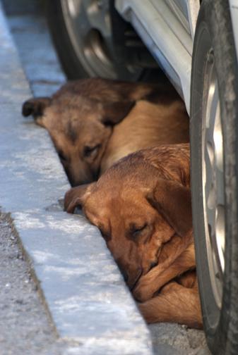 Street dogs_sm